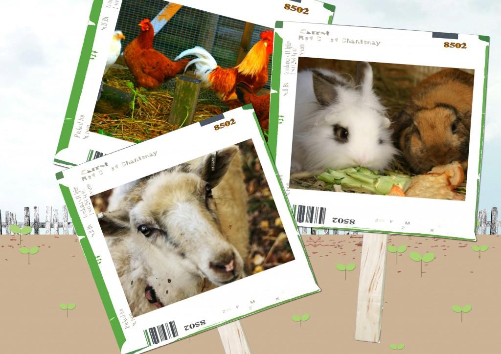 Åsbohöns,Åsenfår, teddylöwenkaniner, Dvärgvädurs kanin