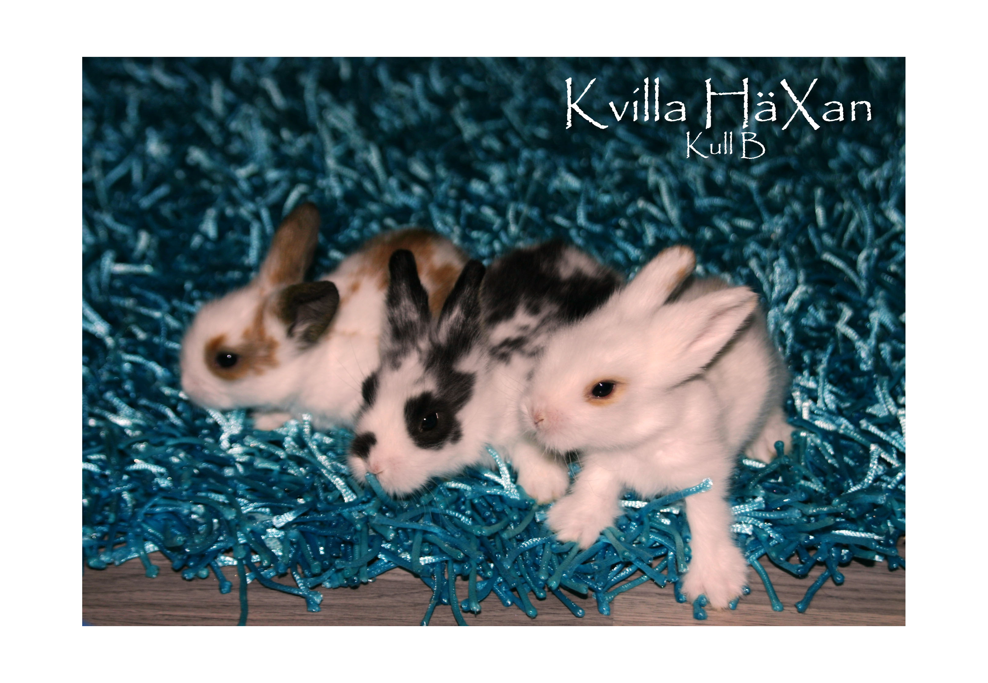 Kvilla Häxans kaninungar